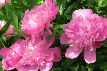 В пышных нарядах из розовых вишневых