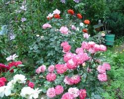Как правильно высадить розу в клумбу