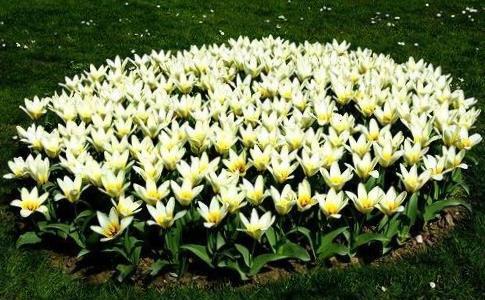 Посадка луковичных цветов весной и осенью
