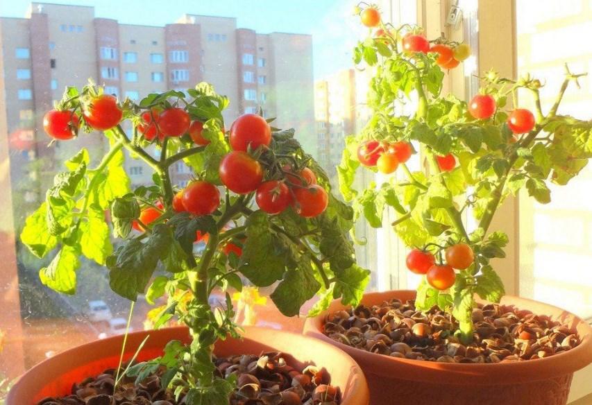 Собственная грядка на подоконнике - томаты