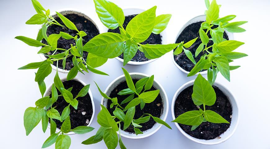 перец выращивают рассадой и семена сеют уже в середине февраля