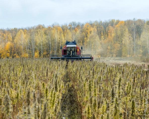 рекомендации по выращиванию технической конопли